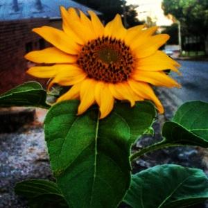 Thanks to Lisl Foss for the sunflower